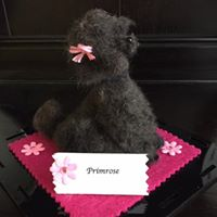 August Project – Primrose The Toy Poodle